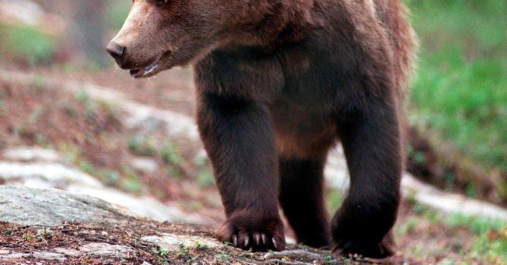 Björnjakten är i gång – ännu ingen björn skjuten i länet